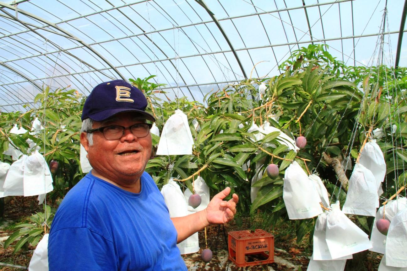 安全・安心・無農薬の仲間おじぃの奇跡のマンゴー@沖縄ジョートー市場